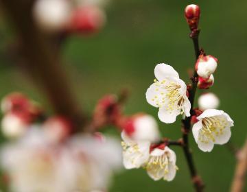 紀州田辺の梅